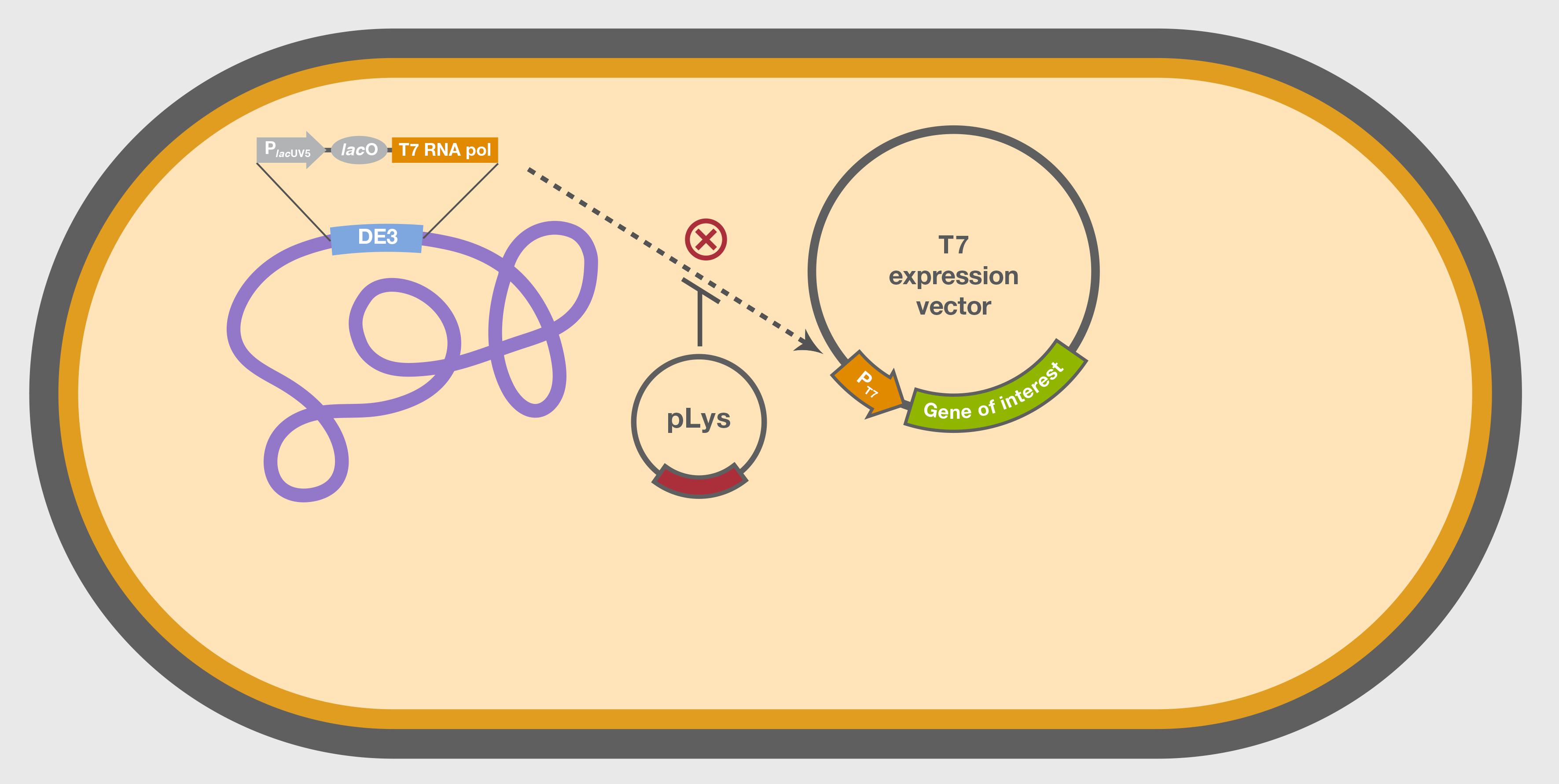Expression Vectors: Types & Characteristics – StudiousGuy