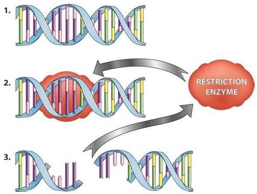 Restriction Enzymes Types Examples StudiousGuy