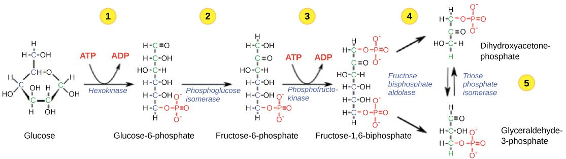 Cellular Respiration In Plants  U0026 Animals  Process  U0026 Diagram  U2013 Studiousguy