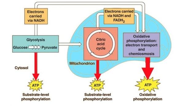 Cellular Respiration In Plants Animals Process Diagram Studiousguy