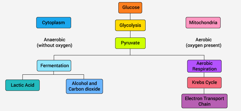 Cellular Respiration In Plants Animals Process Diagram