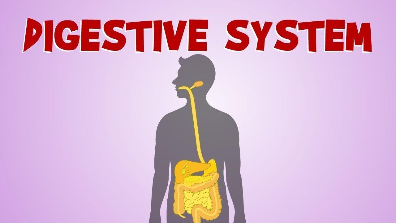 Digestive System Diagram Function Studiousguy