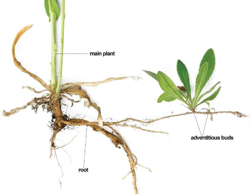 Adventitious Root System: Types, Modifications and ...