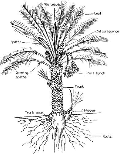 Root System of Palm Trees – StudiousGuy
