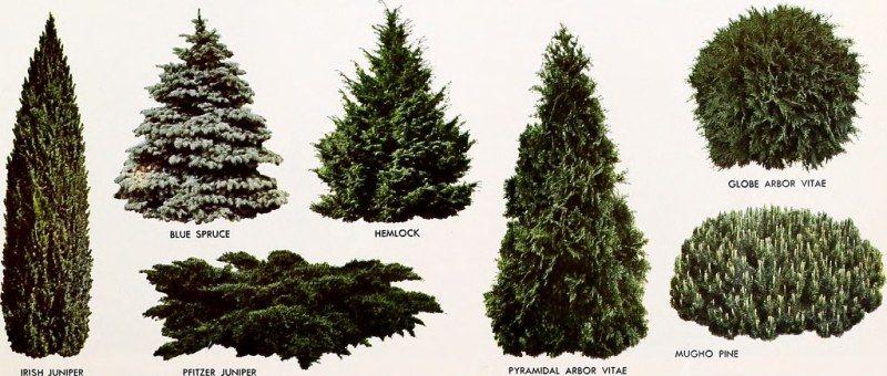 Arborvitae faits intéressants